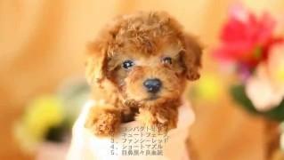 タイニー・プードル(非公認犬種)